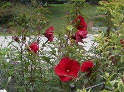 Fireball hibiscus Aug 23 2014-1