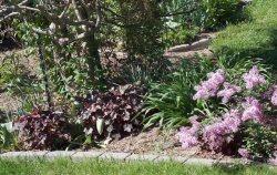 heucheras under wisteria and Boomerang lilac June 5 2014-1
