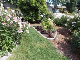 hibiscuses and heucheras Aug 28 2014-1