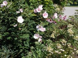 Bombshell, hibiscus, and coneflower Aug 10 2014-1