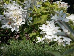 The Swan hydrangea Aug 10 2014-1